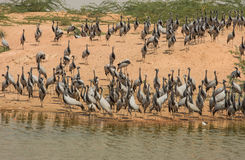 Demoiselle cranes feeding time Stock Photos