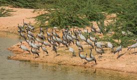 Demoiselle cranes feeding time Royalty Free Stock Image