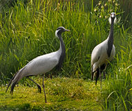 Demoiselle Cranes Stock Images