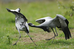 Demoiselle cranes squabble Stock Photos