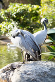 Demoiselle Cranes Stock Photos