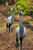 Demoiselle Cranes. Two Demoiselle cranes walking around at Sylvan Heights Bird Park in North Carolina stock image