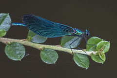 Demoiselle damselfly. Hanging on to a small branch Royalty Free Stock Photo