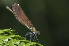 A demoiselle damselfly in the New Forest royalty free stock photo
