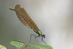 Demoiselle damselfly. In the New Forest Hampshire UK Royalty Free Stock Photo