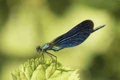 Demoiselle damselfly. In the New Forest Hampshire UK Stock Image