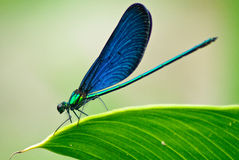 Demoiselle on the leaf Stock Photos