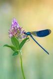 Demoiselle legato - splendens di Calopteryx Fotografia Stock Libera da Diritti