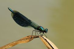 Demoiselle réuni par mâle, splendens de Calopteryx Image stock