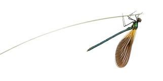 Αρσενικό όμορφο demoiselle, virgo Calopteryx Στοκ Εικόνες