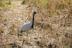 Demoisellekraan onder het droge gras Royalty-vrije Stock Fotografie