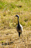 Demoisellekraan onder het droge gras Stock Foto