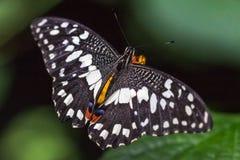 Demoleus esotico di Papilio della farfalla immagine stock libera da diritti