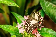 Demoleus Papilio бабочки известки Стоковое Изображение RF