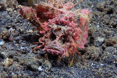 Demon stinger. (Inimicus didactylus) on the sea floor Stock Images