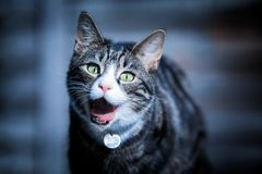 Demonic Cat. A tabby cat is shown with his mouth wide open, eating a fly. His collar has had a 666 added in post production, and his colours exaggerated to look Stock Photography