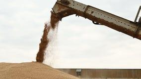 Demonstração de um córrego constante da grão do trigo de uma liga ou da máquina de classificação em um recipiente de carga ou de  video estoque