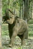 Demonstração do elefante de touro da presa-menos Imagens de Stock