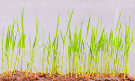 Demonstrated  rice  seedlings  sprout  on soil Royalty Free Stock Photography