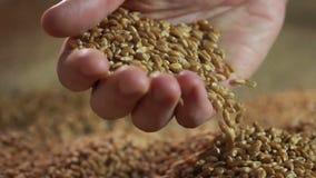 Demonstratie die van tarwekorrel, verkoper goede kwaliteits verzameld gewas voorstellen stock videobeelden