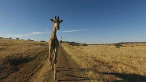 Demonstratie van een giraf lopende motie stock videobeelden