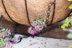 Tutorial of Planting a Hanging Basket of Alyssum Flowers Stock Photo