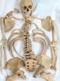 Demonstration of archeological find old human skeleton Stock Photo