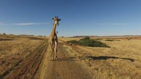 Demonstration av en körande rörelse för giraff stock video