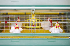 Demonstration of chicken industrial incubator Royalty Free Stock Images
