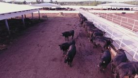 Demonstration of cows and bulls roaming in large fenced corrals in animal farm. Aerial view of massive black cattle roaming in large brown fenced corrals with stock footage