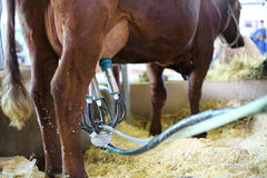 Demonstration of the milking machine at 14th All-Russian Agricultural Exhibition Stock Photography