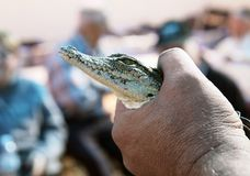Demonstration of a small crocodile. Biologist holding a small Nile crocodile royalty free stock photography