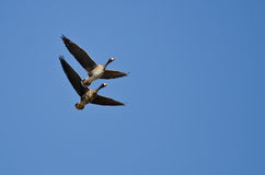Demonstration of Synchronized Flying by Two White-Fronted Geese Stock Image