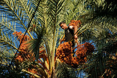 Demonstration of a young boy climbing palm tree Stock Image
