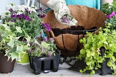 Hand Holding Alyssum over a Hanging Basket of Flowers. Demonstration of a young woman giving a tutorial on how to plant a hanging basket or pot of flowers Royalty Free Stock Images