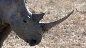 demonstruje jego rogu nosorożec biel Zdjęcia Royalty Free