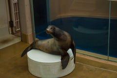 Demostración Akita del acuario de Japón imagenes de archivo
