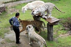 Demostración blanca en el parque zoológico, Tailandia del tigre Fotografía de archivo libre de regalías