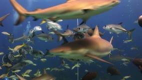 Demostración de alimentación del tiburón del equipo de submarinismo Los buceadores, tiburones almacen de metraje de vídeo