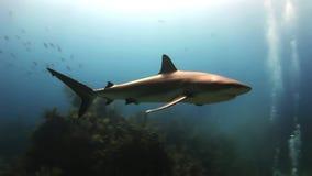 Demostración de alimentación del tiburón del equipo de submarinismo Los buceadores, tiburones almacen de video