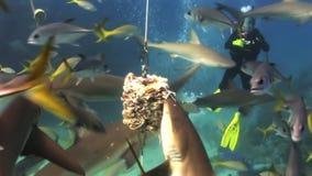 Demostración de alimentación del tiburón del equipo de submarinismo Los buceadores, tiburones metrajes