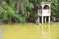 Demostración de alimentación de los cocodrilos en la granja del cocodrilo en Kuching, Sarawak fotografía de archivo libre de regalías