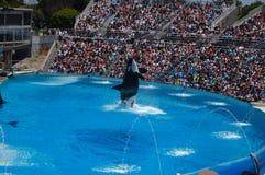 Demostración de la orca en el mundo del mar de San Diego Imagenes de archivo