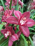 Demostración de la orquídea del jardín botánico de Missouri imagenes de archivo