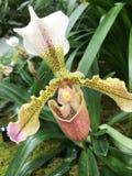 Demostración de la orquídea del jardín botánico de Missouri fotografía de archivo