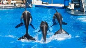 Demostración de las orcas Fotos de archivo