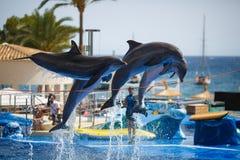 Demostración de los delfínes en Palma de Mallorca Imagen de archivo libre de regalías