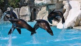 Demostración de los leones marinos foto de archivo