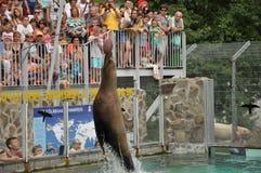 Demostración de los sellos en parque zoológico Foto de archivo libre de regalías