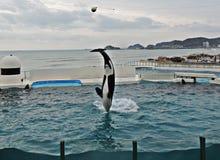 Demostración de orcas o de la orca foto de archivo